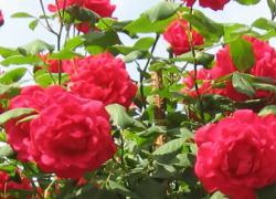 la rosa (pianta del mese maggio 2012)