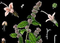 la menta (pianta del mese settembre 2011)