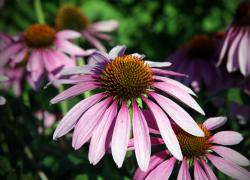 la pianta del mese: l'echinacea