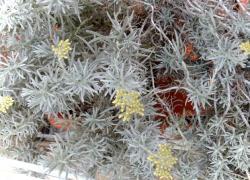 l'elicriso (pianta del mese giugno 2013)